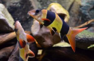 Боция-клоун (макраканта) (Botia macracanthus)