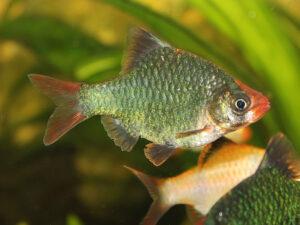 Барбус мшистый (Barbus tetrazona var.)