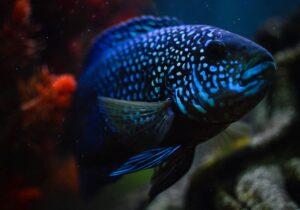 Блю демпси (Blue Dempsey,Archocentrus octofaciatus)